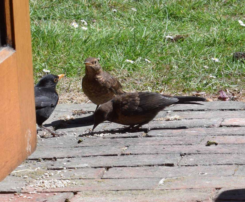 Blackbird brings fledgling for feeding
