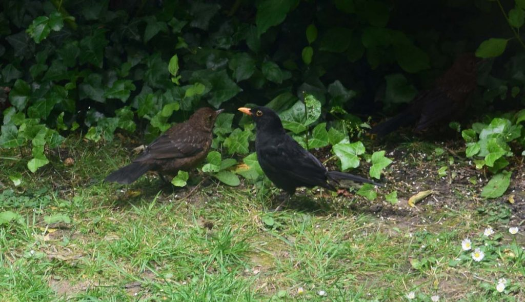 Male blackbird and fledgling