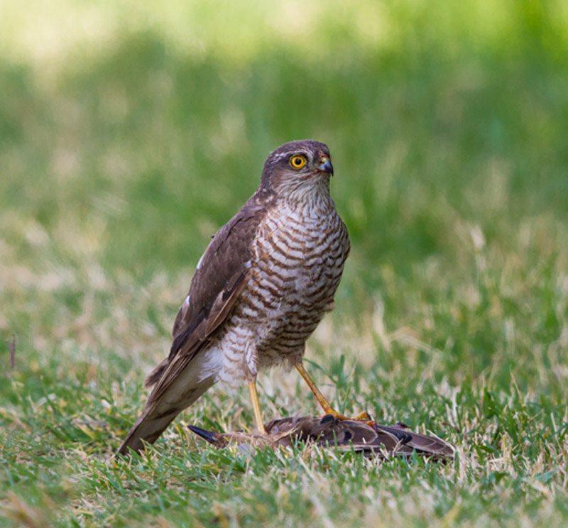 Sparrowhawk with starling (Image from Wikipedia)