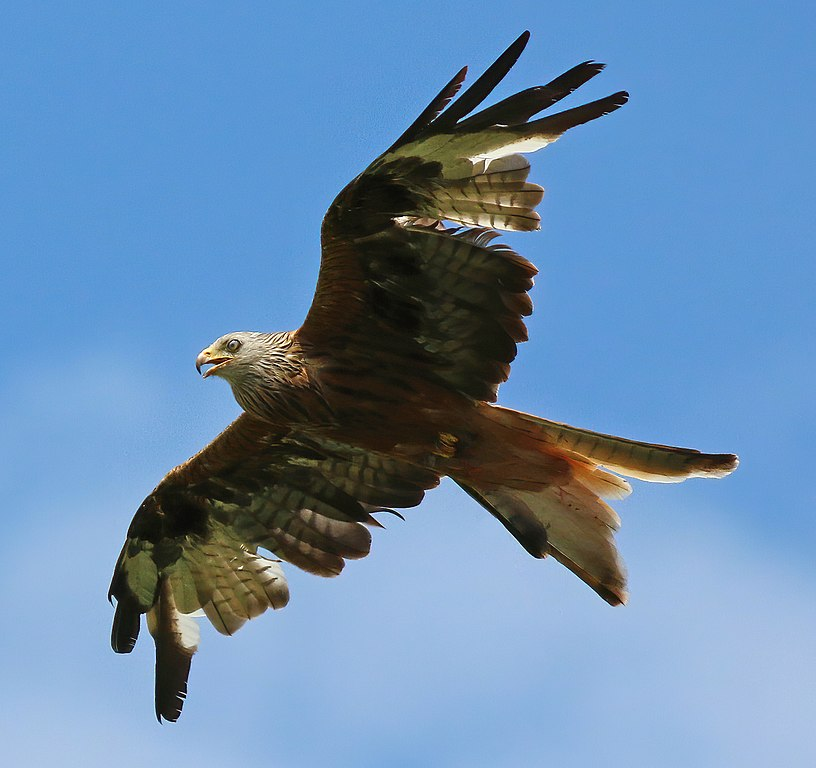 The Magnificent And Now-Thriving Red Kite (Image From Wikipedia)