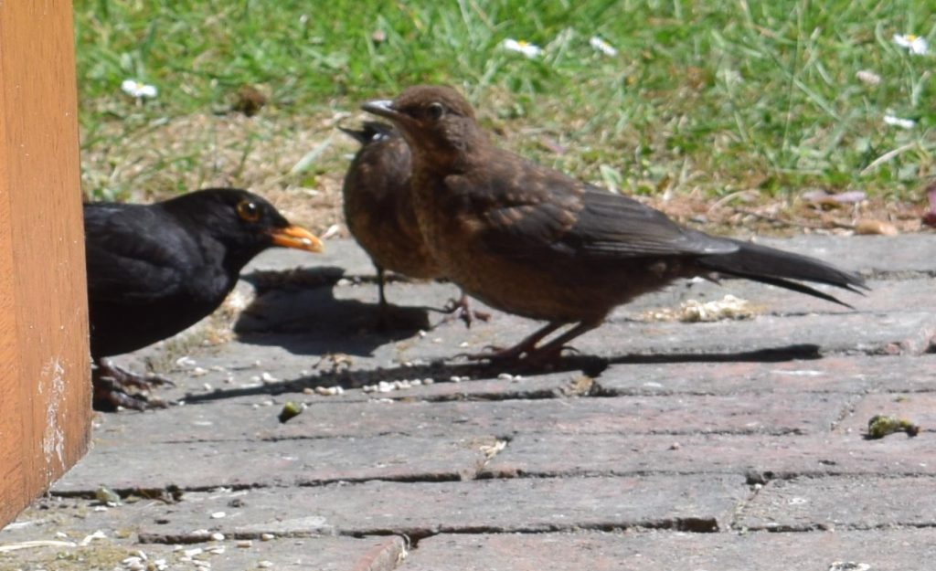 Papa blackbird diligently feeds his chicks