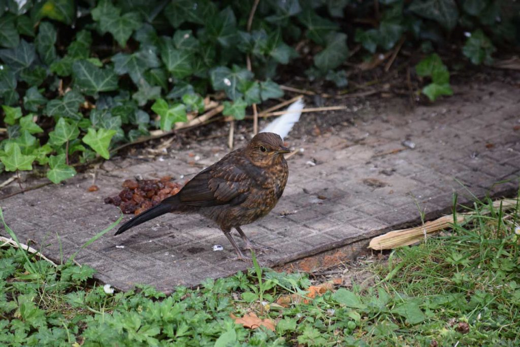 Even A Juvenile Blackbird Will Drive Away A Songthrush
