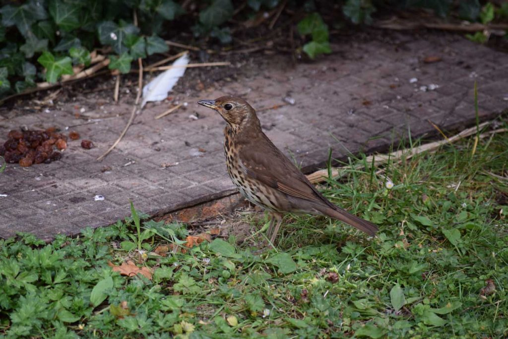 Song thrush - Justly Famous For The Beauty & Variety Of Its Song