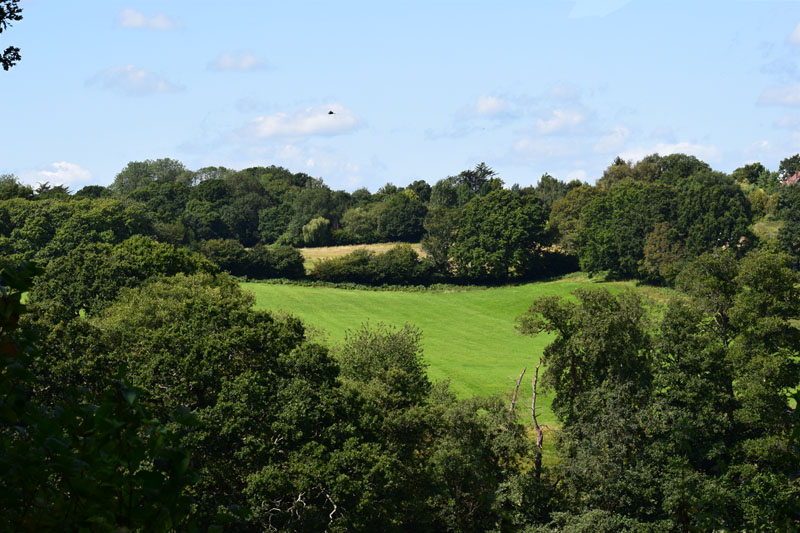 Buzzard circling over fields and shaws