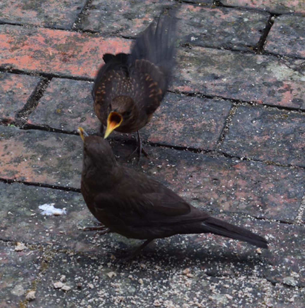 Feed Me!  Blackbird And Chick
