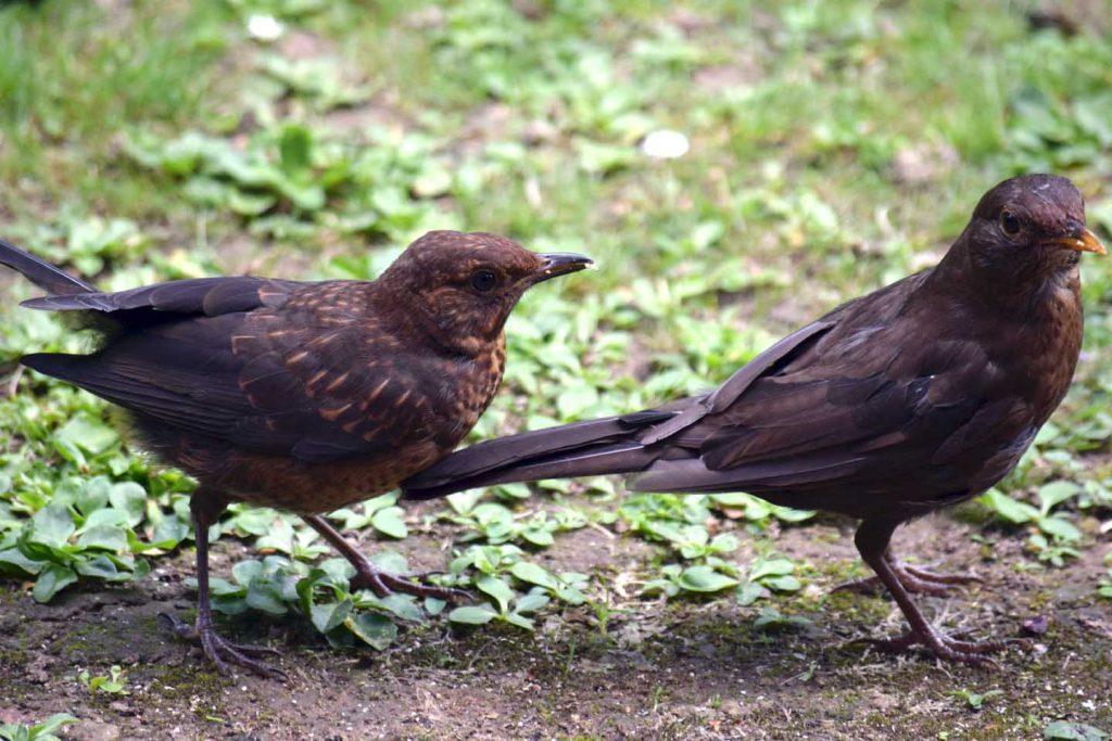 Hen Blackbird And Chick