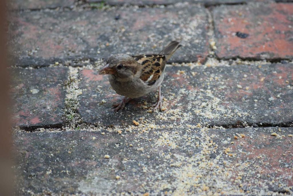 Sparrow With Digestive Biscuit